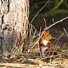 Look out for red squirrels around Elie Holiday Park