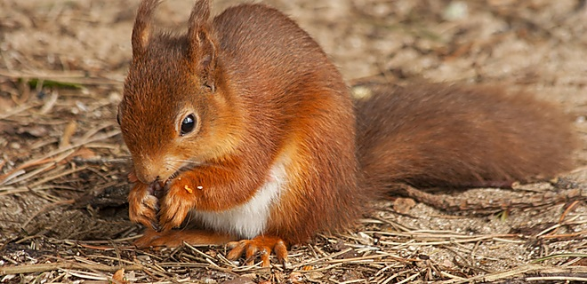 Look out for the red squirrels
